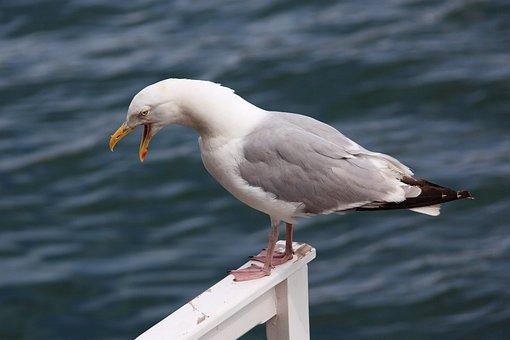 Angry, Animal, Beak, Bird, Cry, Gull, Loud, Mouth
