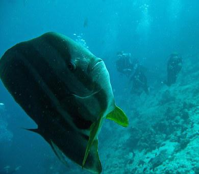 Platax Fish, Batfish, Immersion, Sub, Maldives