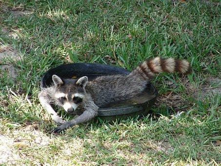 Raccoon, Water, Lazy, Human-like, Cute, Nature, Funny