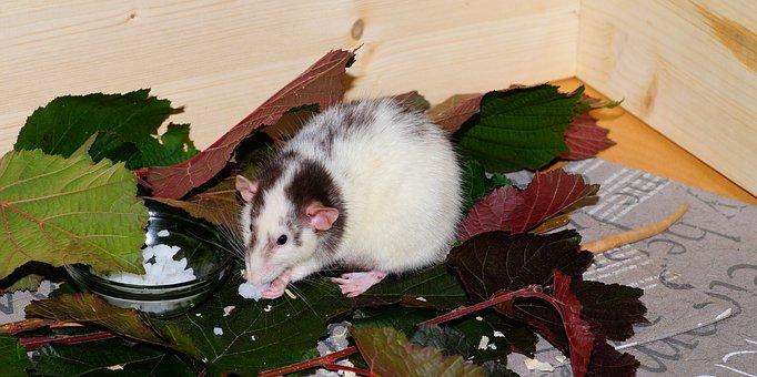 Rat, Color Rat, Rodent, Animal, Mammal, Ears, Head