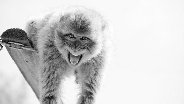 Monkey, Cry, Roar, Wildlife Reserve, Nature