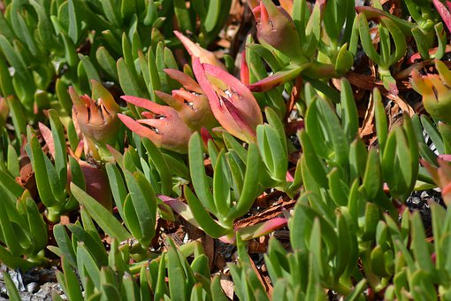 Noon-flower, Succulent, Rounded Noon Flower