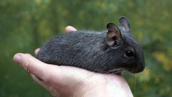 Degu, Wore Rat, Hand, Nager, Rodent, Ears, Pet, Octodon