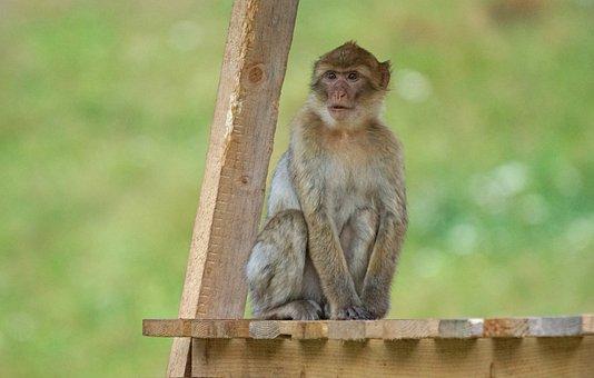 Barbary Ape, Old World Monkey, Primates, Pavia Like