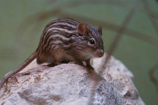Striped Grass Mouse, Long Tailed Mouse, Old World Mouse