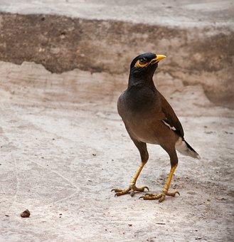 Mynah, Bird, Dark, Plumage, Small, Standing, Still