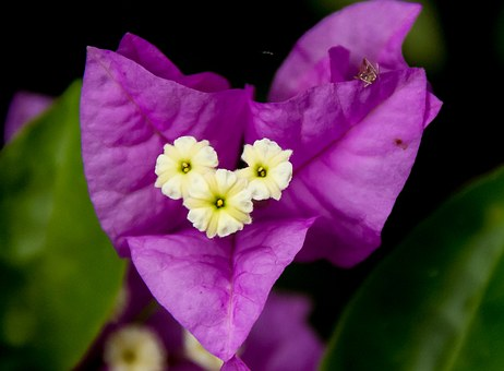 Bougainvillea, Flower, Bloom, Purple, White, Garden