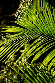 Palm, Bangalow Palm, Frond, Rain Forest, Forest