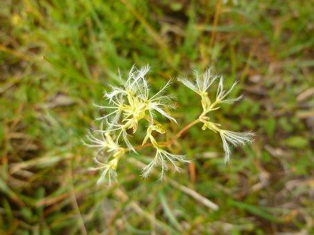 Rock Valerian, Flower, Valeriana Saxatilis, Seeds Was