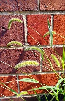 Setaria Viridis, Wild Grass, Green Foxtail