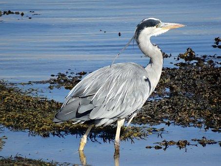 Heron, Loch Fleet, Sutherland, Wildlife, Bird