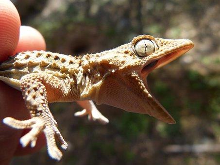 Gecko, Dragon, Lizard, Cry, Open Mouth, Threat