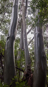 Gum Trees, Eucalypts, Wet, Rain, Trunks, Shiny