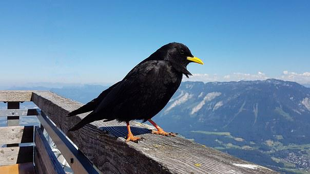 Bergdohle, Bird, Chough, Alpine, Mountains, Raven Bird