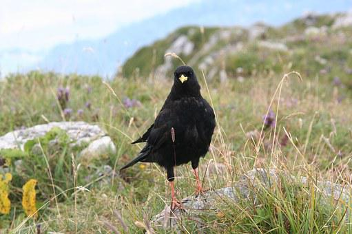 Alpine Chough, Beak, Yellow, Bird, Alps, France, Nature