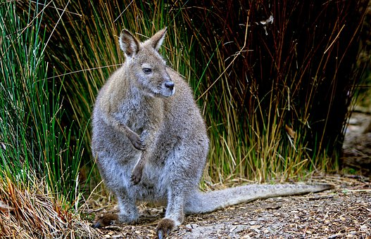 Wallaby, Grey, Wildlife, Australian, Animals, Mammals