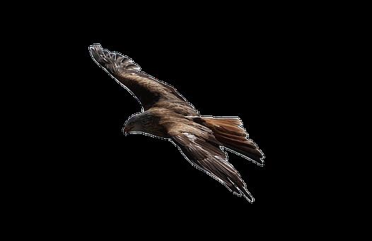 Hawk, Eagle, Bird, Brown, Prey, Beak, Wild, Feathers