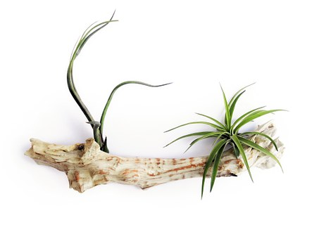 Tillandsia, Air Plant, Leaf, Bromeliaceae, Green, Home
