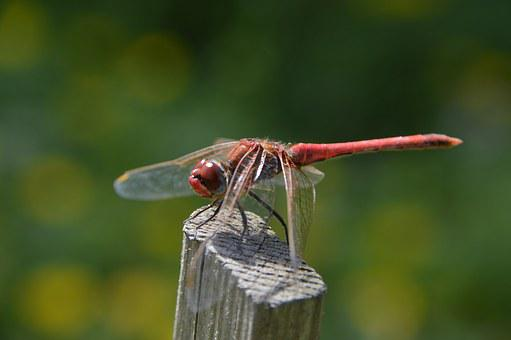 Red, Dragonfly, Macro, Nature, Insects, Wings, Bug