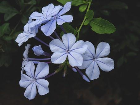 Cape Europaea, Flower, Plumbago, Plant, Blue