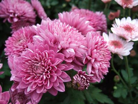 Chrysanthemum, Flower, Chrysanthemum Exhibition