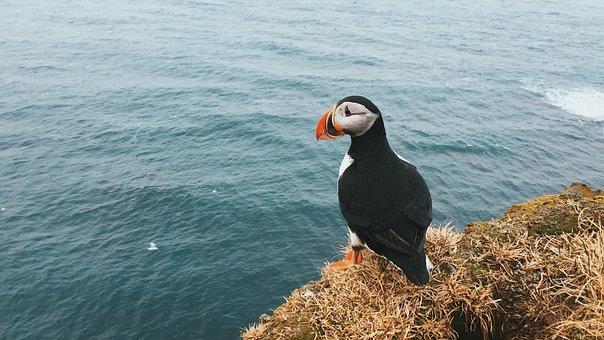 Animal, Animal Photography, Bird, Coast, Ocean, Puffin