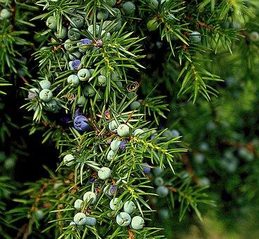Juniper, Common Juniper, Evergreen, Cupressaceae, Bush