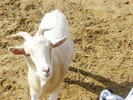 Goats, White, Animals, Mammal, Domestic, Farm Animals
