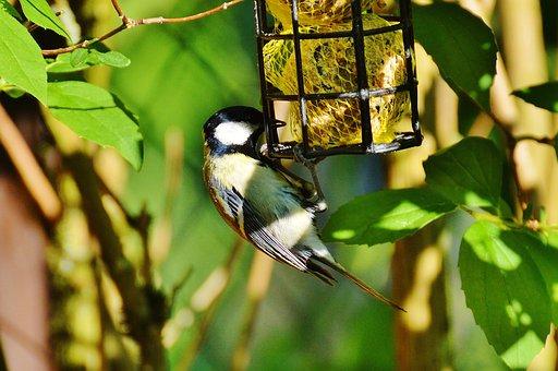 Tit, Bird, Bird Seed, Fat Balls, Feed, Depend, Plumage