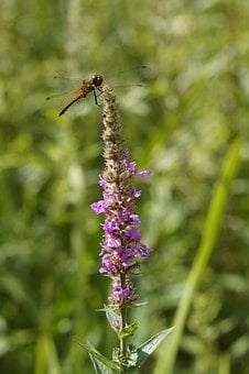 Dragonfly, Red Dragonfly, Red, Flight Insect, Insect