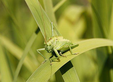 Green, Grasshopper, Flip, Insect, Macro, Tiefenschärfe