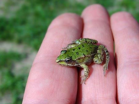 Water Frog, Frog, Small, Green Frog, Lake, Pond