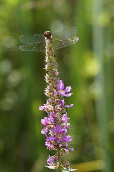 Red Dragonfly, Dragonfly, Red, Loosestrife, Wetlands