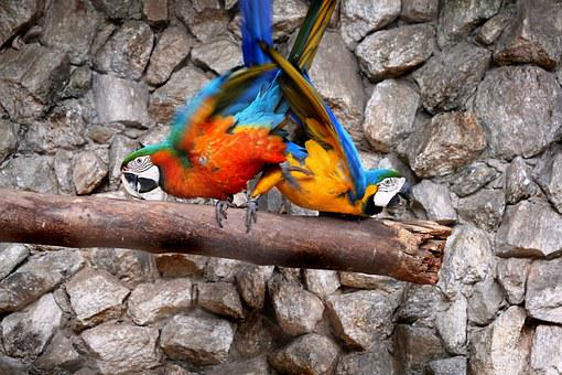 Macaws In The Natural Background, Birds, Colorful