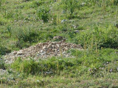 Alpine Marmot, Animals, Marmota Marmota, Marmots