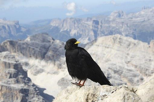 Bird, Chough, Mountains, Freedom, Bergdohle, Alpine