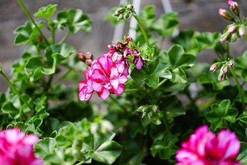 Pink, Flowers, Geranium, Plant, Spring, Nature, Close
