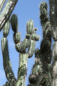 Cactus, Green, Spur, Prickly, Nature, Plant, Dry, Flora