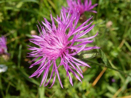 Knapweed, Purple, Violet, Flower, Pointed Flower