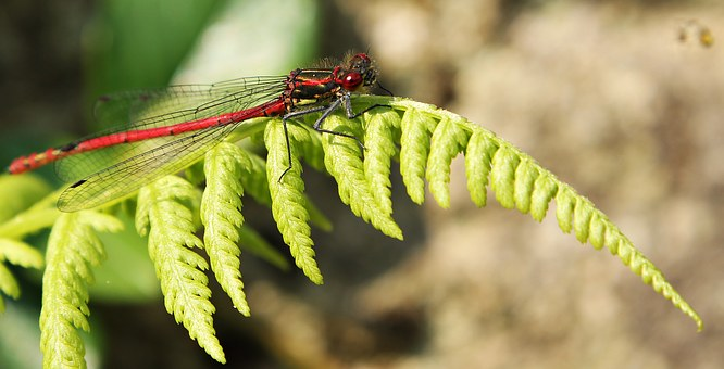Dragonfly, Red, Insect, Red Dragonfly, Close, Nature