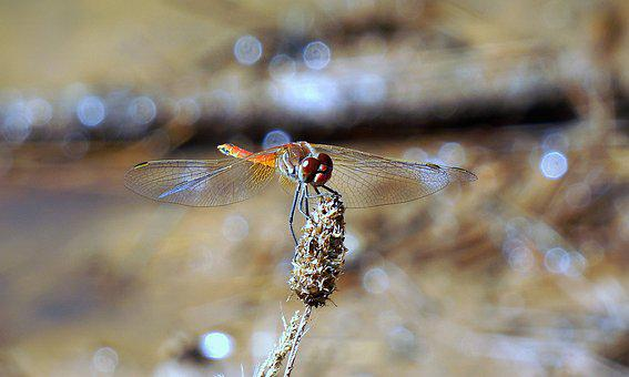 Dragonfly, Insect, Red Dragonfly, Red, Wings