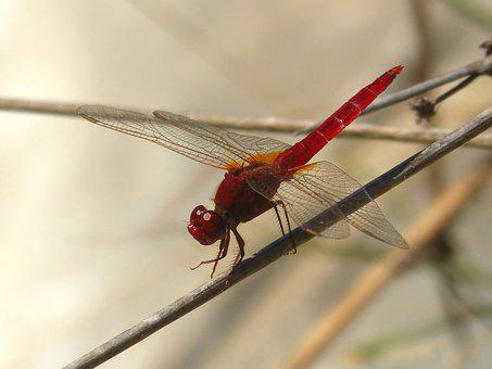 Red Dragonfly, Wetland, Stem, Dragonfly, Winged Insect