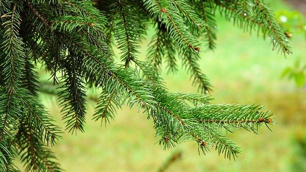 Spruce, Needle, Needles, Tree, Green, Rain Drops