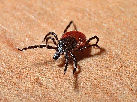 Tick, Lyme Disease, Mites, Bite, Danger, The Disease