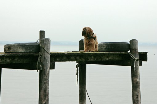 Web, Boardwalk, Water, Animal, Dog, Alone, Wait, Stand