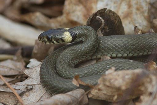Grass Snake, Amphibian, Pond, Water, Animal, Nature