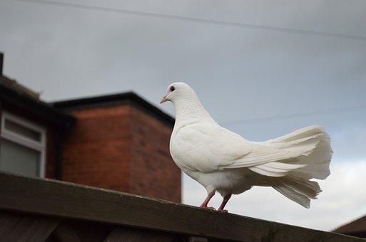 White, Dove, Birds, Peace, Symbolism, Symbols, Signs