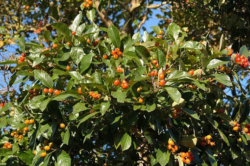 Wild Fruit, Berries, Tree, Red, Leaves, Shiny