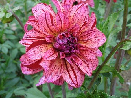 Dahlia, Pink, Bicolor, Flower