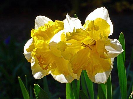 Osterglocken, Daffodils, Filled, Spring